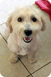 Poodle (Standard)/Lhasa Apso Mix Dog for adoption in Winnetka, California - CALVIN
