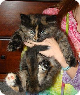 Domestic Longhair Kitten for adoption in Owatonna, Minnesota - Hermione