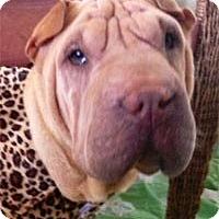 Adopt A Pet :: Daisy - Houston, TX