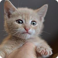 Adopt A Pet :: Nutmeg - Brooklyn, NY