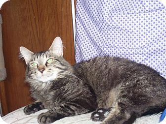 Maine Coon Cat for adoption in Parkville, Missouri - Esperanzo