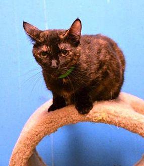 Domestic Shorthair Cat for adoption in Houston, Texas - Tara