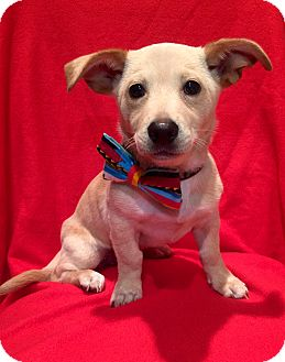Corgi/Spaniel (Unknown Type) Mix Puppy for adoption in Irvine, California - David