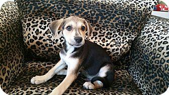 Labrador Retriever/Shepherd (Unknown Type) Mix Puppy for adoption in Valencia, California - Bruno