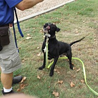 Labrador Retriever/Mastiff Mix Dog for adoption in Dallas, Texas - MAGNUM