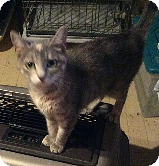 Domestic Shorthair Cat for adoption in Mt Pleasant, Pennsylvania - Magnolia