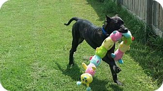 Presa Canario Mix Puppy for adoption in Killeen, Texas - Matteo