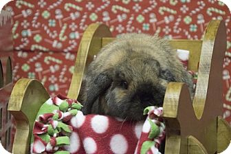 Lop, Holland for adoption in North Lima, Ohio - Buster