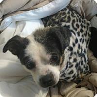 Adopt A Pet :: Darla 2 - Georgetown, KY