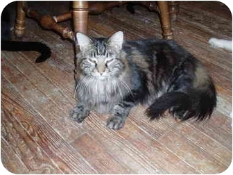 Domestic Longhair Cat for adoption in Hamburg, New York - Pippin