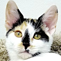 Adopt A Pet :: Tiger Lily - Westlake Village, CA