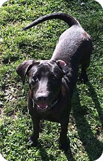 Labrador Retriever/Hound (Unknown Type) Mix Dog for adoption in Bolingbrook, Illinois - Winona