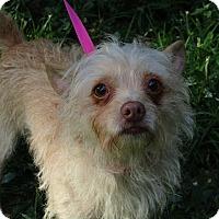 Adopt A Pet :: Ziva - Allentown, PA