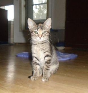 Domestic Shorthair Kitten for adoption in Westminster, Colorado - Jaylin