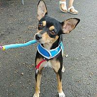 Adopt A Pet :: Hayley!  ADOPTION PENDING - New York, NY