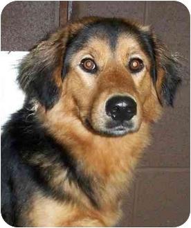 Shepherd (Unknown Type) Mix Dog for adoption in North Benton, Ohio - #1 Shep mix Urgent