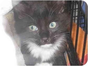 Domestic Shorthair Kitten for adoption in Houston, Texas - Bart