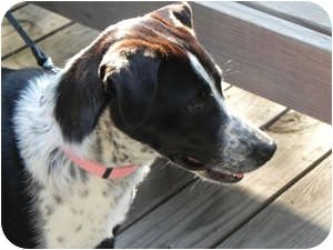 Border Collie Mix Dog for adoption in Oliver Springs, Tennessee - Daisy