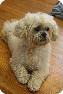 Shih Tzu/Poodle (Miniature) Mix Dog for adoption in Nashville, Tennessee - Sasha