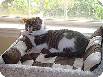 Domestic Shorthair Kitten for adoption in Carlisle, Pennsylvania - Buster