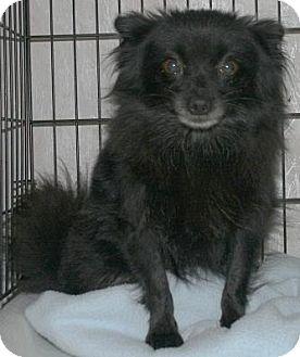 Pomeranian Dog for adoption in House Springs, Missouri - Annis