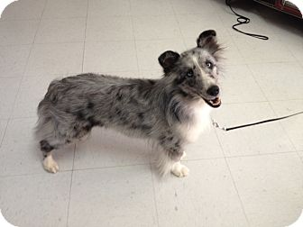 Sheltie, Shetland Sheepdog Dog for adoption in apache junction, Arizona - Peaches