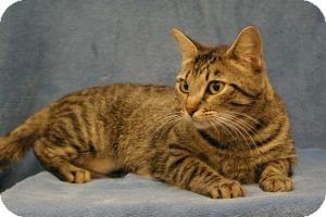 Domestic Shorthair Cat for adoption in Sacramento, California - Daisy