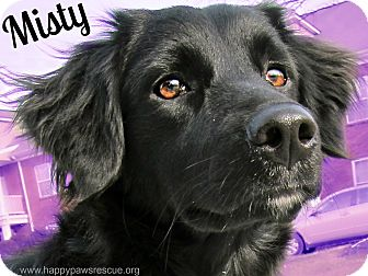 Flat-Coated Retriever/Spaniel (Unknown Type) Mix Dog for adoption in South Plainfield, New Jersey - Misty