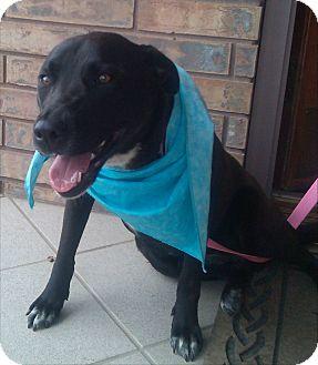 Labrador Retriever/Boxer Mix Dog for adoption in Seattle, Washington - Sidney - SWEET GIRL
