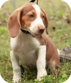 Beagle Puppy for adoption in Hagerstown, Maryland - Copper