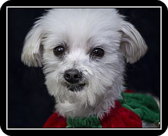 Maltese/Terrier (Unknown Type, Small) Mix Dog for adoption in Los Gatos, California - Charlie Bear