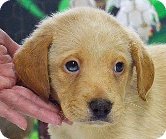 Labrador Retriever/Catahoula Leopard Dog Mix Puppy for adoption in Searcy, Arkansas - Brady