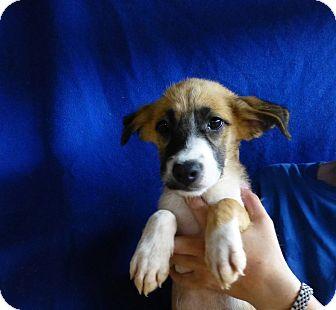 Australian Shepherd/Labrador Retriever Mix Puppy for adoption in Oviedo, Florida - Chip