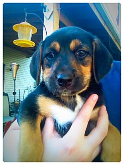 Beagle Mix Puppy for adoption in ST LOUIS, Missouri - Duke