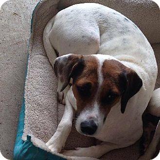 Beagle Mix Dog for adoption in Olympia, Washington - Gypsy