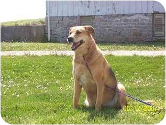 Labrador Retriever/German Shepherd Dog Mix Dog for adoption in Tiffin, Ohio - Mollee-URGENT
