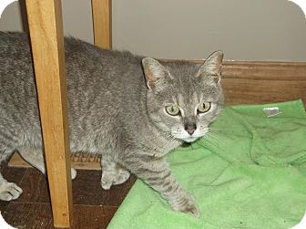 Domestic Shorthair Cat for adoption in Columbus, Ohio - Tiger Lilly