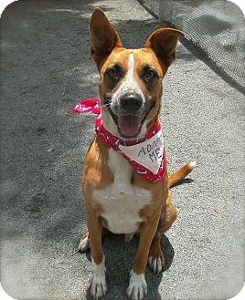 Pharaoh Hound/Cattle Dog Mix Dog for adoption in El Cajon, California - Alex