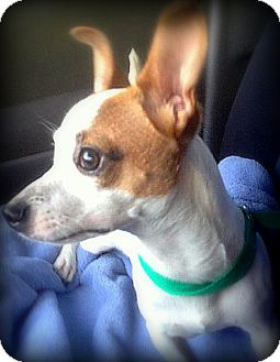 Jack Russell Terrier/Terrier (Unknown Type, Small) Mix Dog for adoption in Miami, Florida - Sparky