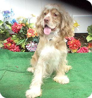 Cocker Spaniel Dog for adoption in Marietta, Georgia - CHARMIN CHARLIE (R)