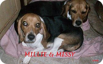 Beagle Dog for adoption in Ventnor City, New Jersey - MILLIE & MISSY