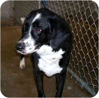 Border Collie Mix Dog for adoption in Scottsdale, Arizona - Coolidge