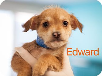 Beagle/Chihuahua Mix Puppy for adoption in Dallas, Texas - Edward