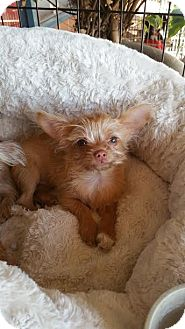 Yorkie, Yorkshire Terrier/Terrier (Unknown Type, Small) Mix Puppy for adoption in Hesperia, California - Ewok