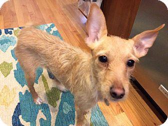 Terrier (Unknown Type, Medium) Mix Puppy for adoption in Chicago, Illinois - Priscilla