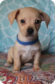 Dachshund/Chihuahua Mix Puppy for adoption in Bedminster, New Jersey - Garbanzo