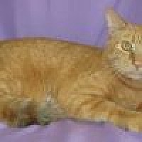 Domestic Shorthair Cat for adoption in Powell, Ohio - Tango