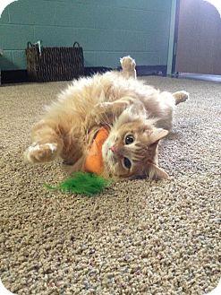 Domestic Longhair Cat for adoption in Livonia, Michigan - Honey Pillsbury with Neptune