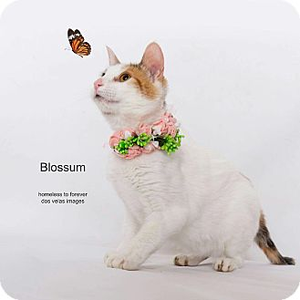 Calico Cat for adoption in Arcadia, California - Blossom