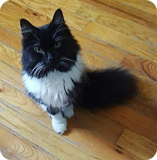 Domestic Longhair Cat for adoption in Hazlet, New Jersey - Sadie